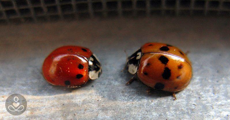 Asian lady beetle infestation